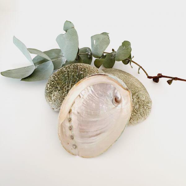 Green Lip Abalone Shell